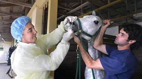 Eläinlääkäri Scott Swerdlin ottaa virusnäytteen hevosen nenästä Cesar Mensin avustuksella. Kuva Wellingtonista Uudesta-Seelannista vuodelta 2006.