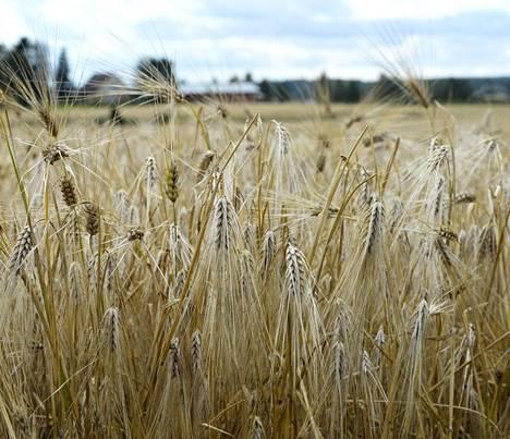 Iso osa maataloustuista maksetaan peltoalaperusteisesti. Kuvan pellolla Ilmajoen Koskenkorvalla kasvaa ohraa.