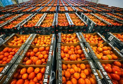 """Närpiön vihanneksen pakkaamolta lähtee tavallisena kesäviikkona kauppoihin 500<span class=""""nbsp"""">&nbsp;</span>000 kiloa tomaatteja. Poimintapäiviä ovat yleensä maanantai, keskiviikko ja perjantai."""