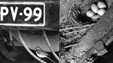 Pitäjänmäen västäräkki oli painanut tarkoin mieleensä kotiauton rekisterinumeron, sillä se ei koskaan mennyt vahingossakaan väärään autoon. Pesä munineen etupuskurin takana.