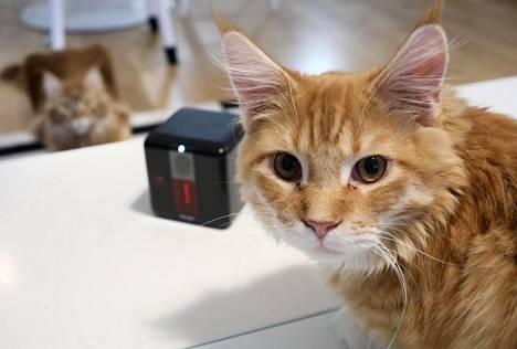 Maine coon -kissat Noel ja Alva koekäyttivät Petcube-kameraa.