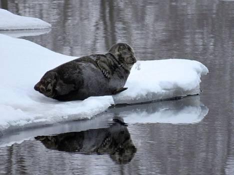 Runsasluminen talvi toi saimaannorpan pesinnälle tänä vuonna poikkeuksellisen otolliset olot. Lumitalvet ovat kuitenkin vähenemään päin Saimaallakin.
