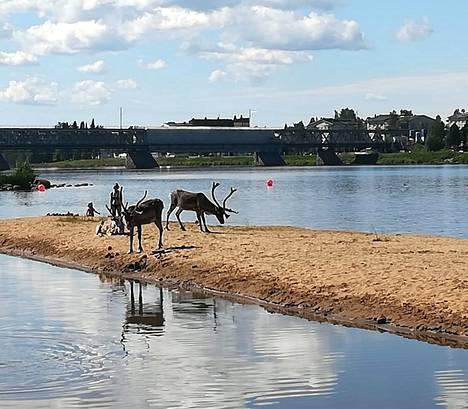 Lukijan ottama kuva näyttää porot Ounaskosken rannalla heinäkuussa 2018.