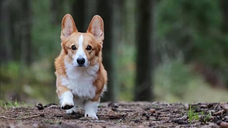 Topi the Corgi on toinen sosiaalisen median suosituista Topi-koirista.