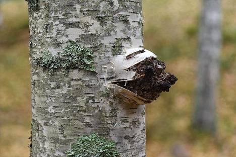 Pakuri on koivua lahottavan pakurikäävän aiheuttama musta kasvain. Luononvarakeskuksen tutkimusalueella Etelä-Savossa puun kylkeen ilmestyi pakuri, kun tutkijat ujuttivat pakurikääpärihmastoa koivun sisään.