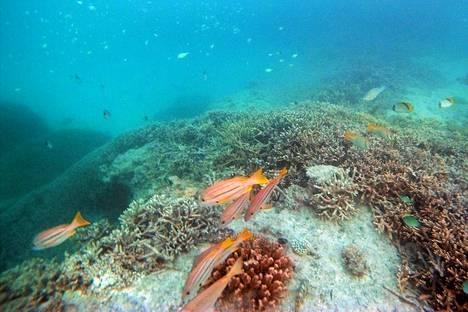 Korallia Heron Islandilla Australiassa.
