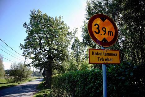 Neljäsataavuotias Leinon tammi Espoon Högnäsissä kuvattuna vuonna 2006. Torstaina Aila-myrsky kaatoi tammen.