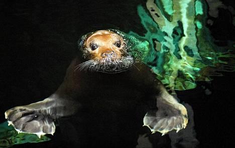 Hylje uiskenteli tiistaina Oceanopolis-puistossa Länsi-Ranskan Brestissä.
