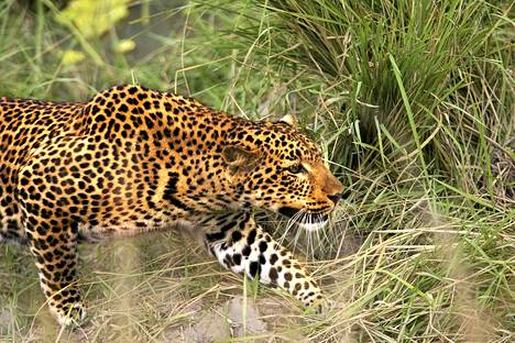 Britanniassa on havaittu, että saaliseläimet pelkäävät afrikkalaisen leopardin turkkia muistuttavia vaatekuoseja. Kuvassa on naarasleopardi sambialaisessa kansallispuistossa.