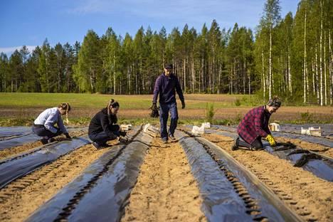 Työ on suosituin syy hakea oleskelulupaa Suomesta. Etenkin sesonkityö jatkoi nousuaan viime vuonna. Venäläiset ja ukrainalaiset kausityöläiset istuttivat taimia mansikkatilalla Suonenjoella kesäkuussa 2020.