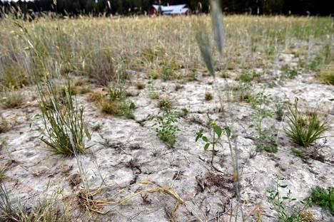 Kuivuudesta kärsinyttä ruispeltoa Hollolassa 7. elokuuta.