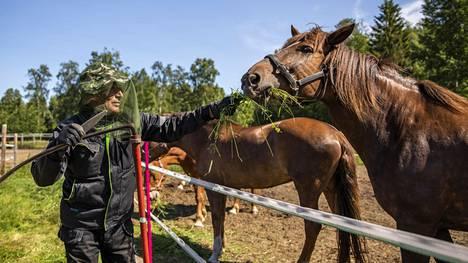 2020: Alpo Lohilahti pukeutuu helteellä samalla tavalla kuin talvellakin, eli peittävästi. Perjantaina hän niitti heinää hevosille Pohjois-Iissä.