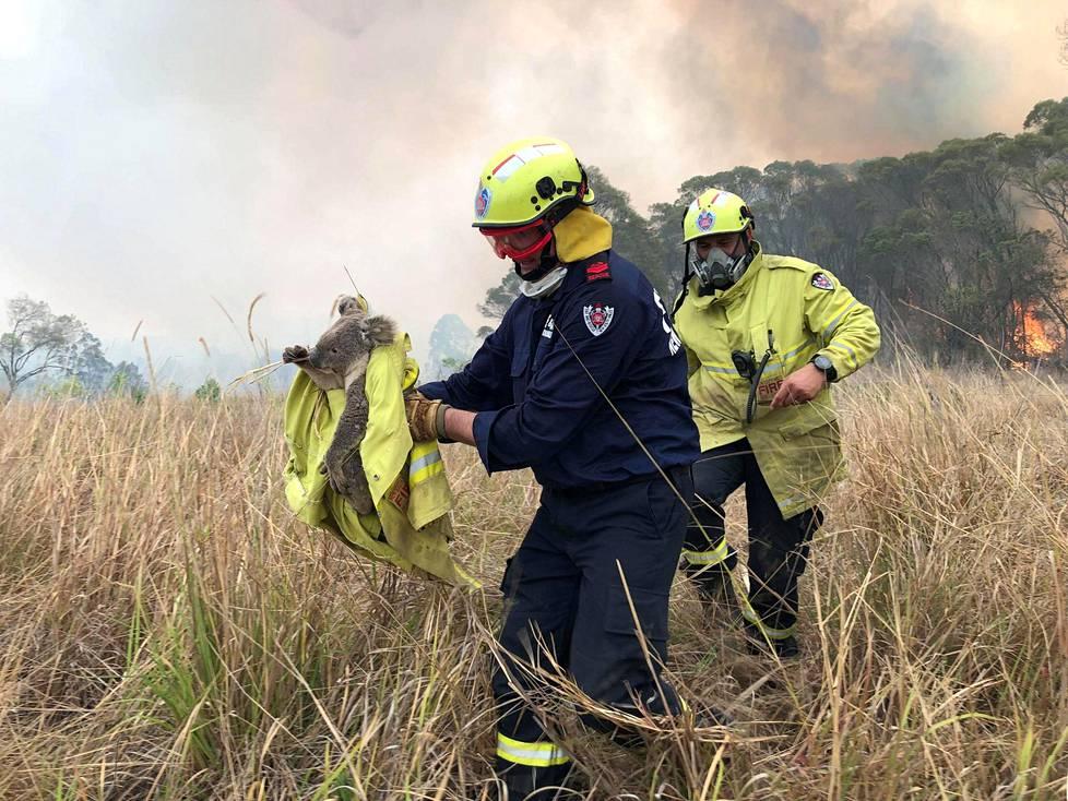 Palomiehet pelastivat koalan liekeistä Uudessa Etelä-Walesissa marraskuussa.