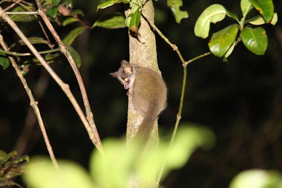 Taitanpikkugalago on pikkuruinen puoliapina, jonka koko vastaa noin neljäs- tai viidesosaa oravasta.