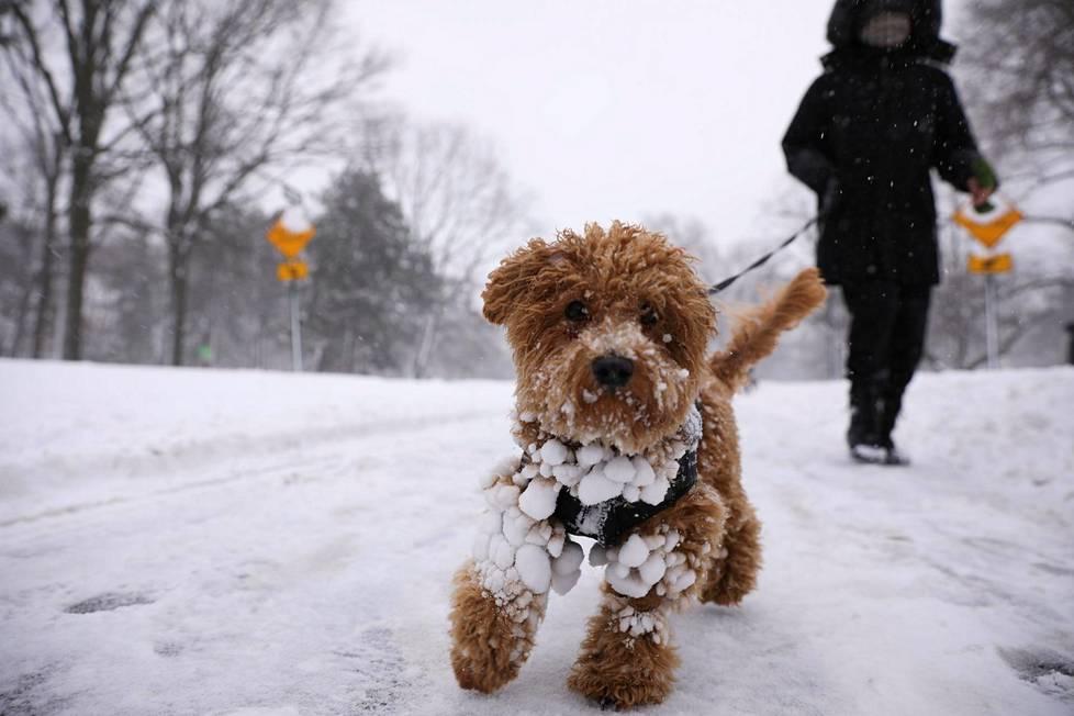 Maui-koira nauttii lumisesta talvesta Central Parkissa.