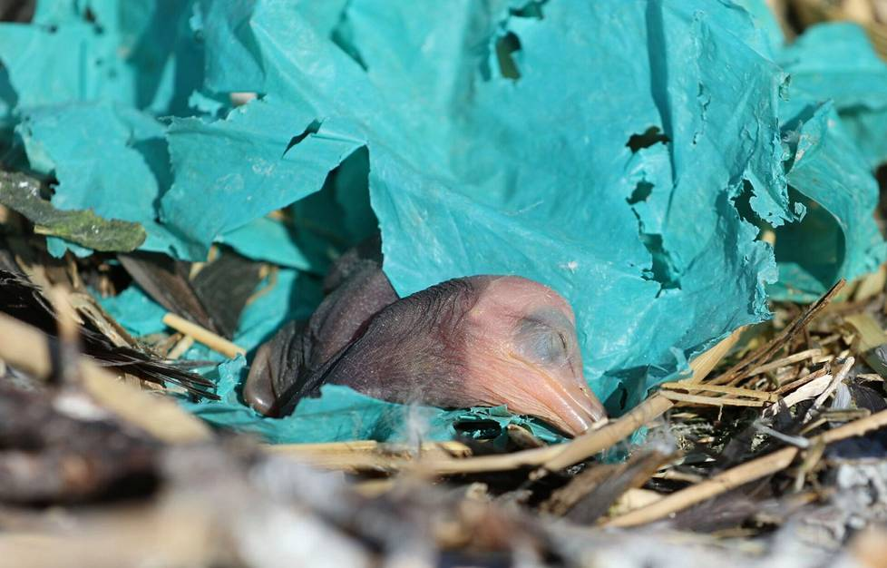 Cormorants are already exposed to litter as chicks as the birds collect plastic in their nests.  Pictured is a newly hatched cormorant in Hamina in June 2018.