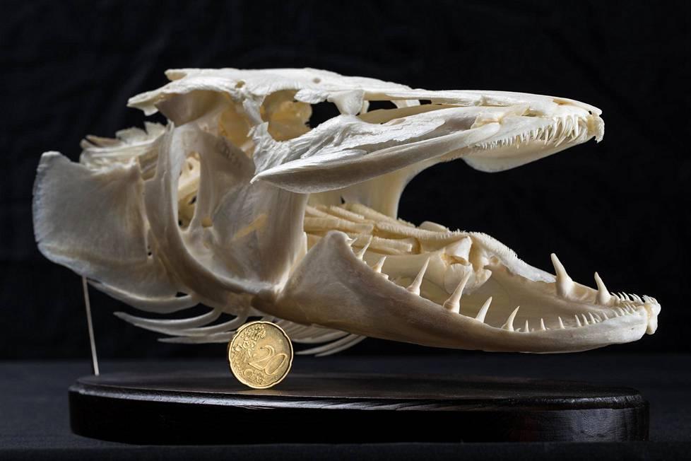Hauki (Esox lucius) on helppo tunnistaa krokotiilimäisen leveistä leuoista. Tämä viisikiloinen peto pyydettiin Porvoosta.