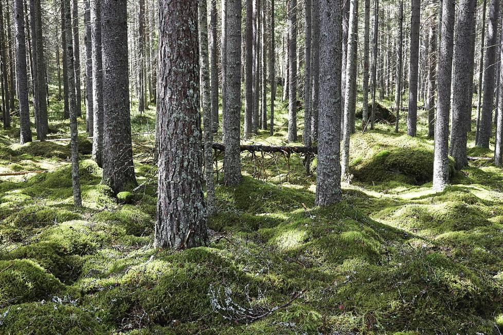 Metsät ovat monimuotoisuuden kannalta tärkeitä, ja niillä on keskeinen rooli myös ilmastonmuutoksen hillinnässä hiilitasapainon ylläpitäjinä. Entistä talousmetsää Liesjärven kansallispuistossa.