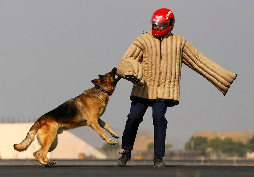 Koiraa voidaan opettaa suojelemaan omistajaansa ja tarttumaan kiinni maalimiehenä toimivan kouluttajan pehmusteilla suojattuun käsivarteen. Kuva Intian armeijan koiriakoulutuksesta vuodelta 2017.
