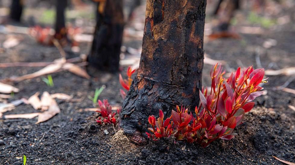 Palojen jälkeen menee kolmesta neljään kuukautta ennen kuin maa alkaa taas kunnolla vihertyä.