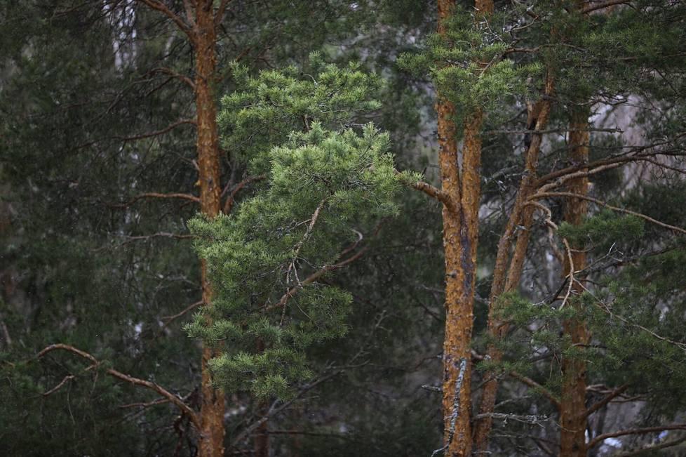 Metsä Group päättänee ensi vuoden lopulla, aletaanko sellusta valmistaa tekstiilikuitua suuressa teollisessa mittakaavassa. Kuvassa mäntyjä Tampereella huhtikuussa 2021.