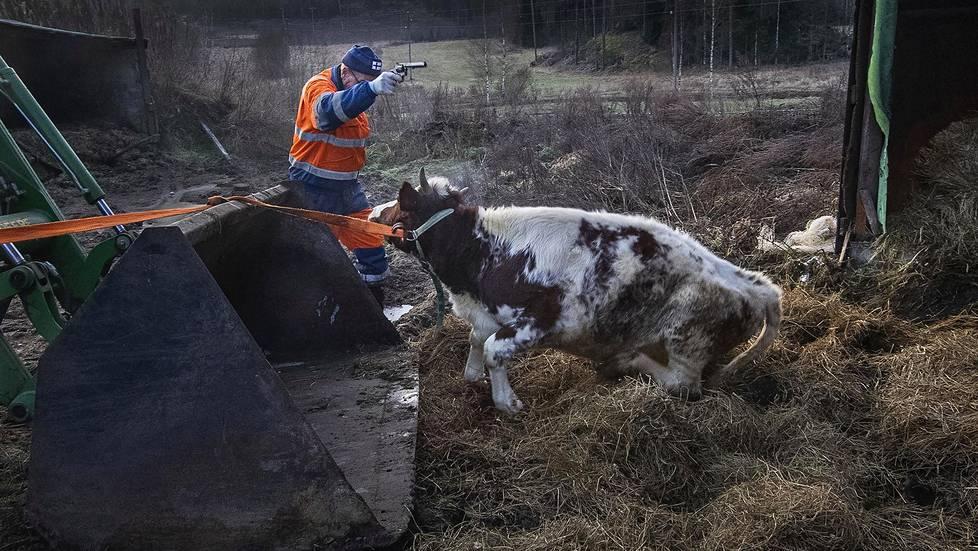 Vuoden lehtikuva 2019, Juha Metso. Lehmätilan ja lehmän loppu Haminassa. Nyt Ismo Kiurulla on edessään uusi elämä. Tulevaisuuteen hän katsoo hieman nieleskellen. Töiden etsiminen ei ole tuottanut oikein tulosta.