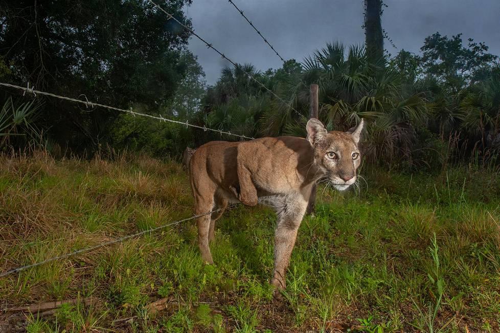 Floridanpuumanaaras suuntaa karja-aidan läpi poikanen perässään Naplesin alueella Floridassa. Luontokuvat, 2. palkinto.