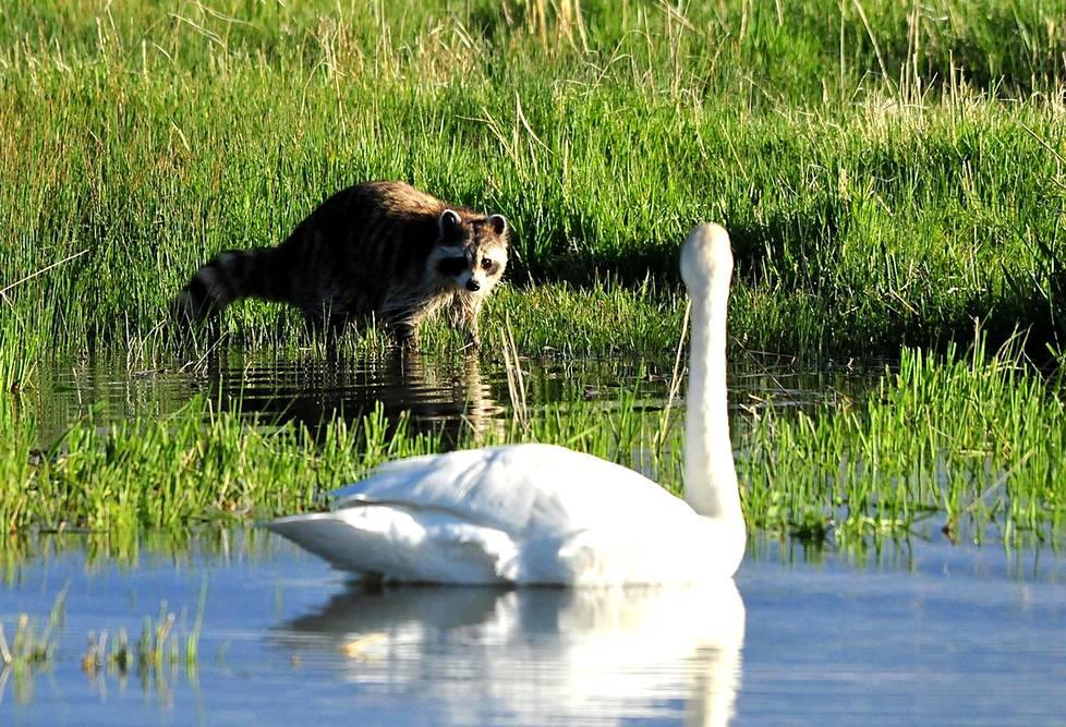 Joutsen ja supi kohtasivat Wyomingissa Yhdysvalloissa. Suomenkin joutsenet voivat ennen pitkää törmätä supiin eli pesukarhuun, joka on yksi todennäköisistä Suomeen saapujista ilmaston lämpenemisen myötä.