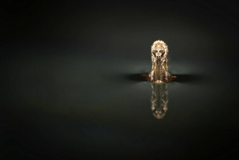 """Naarashyttynen kuoriutuu. Kuva on otettu akvaariossa. Kuoriutuminen on ohi parissa minuutissa ja tämä vaihe parissa sekunnissa. """"Yleensä missasin kuoriutumisen, joten siirsin hyttyshautomon keittiön pöydälle jatkuvaan seurantaan ja viimein onnistuin"""", valokuvaaja Sami Karjalainen kertoo."""