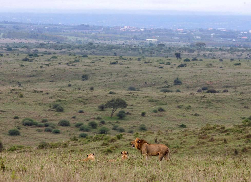 Afrikan leijonan populaatioiden määrä on vähentynyt lähes puoleen vuoden 1993 jälkeen.