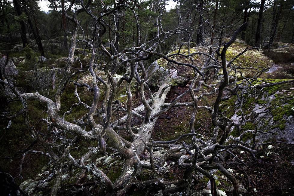 Espoo haluaa rakentaa uuden pientaloalueen keskelle metsää.