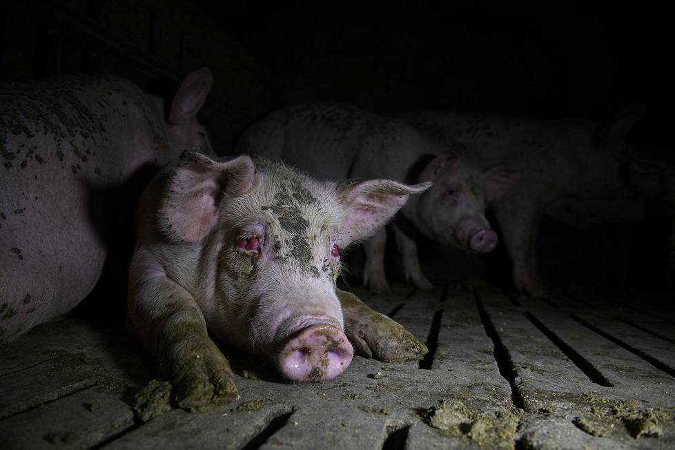 Silmätulehduksesta kärsivä sika Kastilia-La Manchassa. Ympäristöaiheiset sarjat, 3. palkinto.
