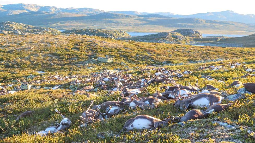 Videoartikkeli, Dead wild reindeer are seen on Hardangervidda in Norway, after lightning struck the central mountain plateau and killed more than 300 of them, in this handout photo received on August 28, 2016. MANDATORY CREDIT Havard Kjotvedt/SNO/Miljodirektoratet/NTB Scanpix via Reuters FOR EDITORIAL USE ONLY. THIS IMAGE HAS BEEN SUPPLIED BY A THIRD PARTY. IT IS DISTRIBUTED, EXACTLY AS RECEIVED BY REUTERS, AS A SERVICE TO CLIENTS. NORWAY OUT. - RTX2NDQL