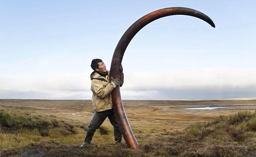 Mammutin syöksyhammas painaa enemmän kuin mies. Tämä erittäin hyvässä kunnossa ollut syöksyhammas löytyi Isosta Ljahovinsaaresta Jakutiasta.