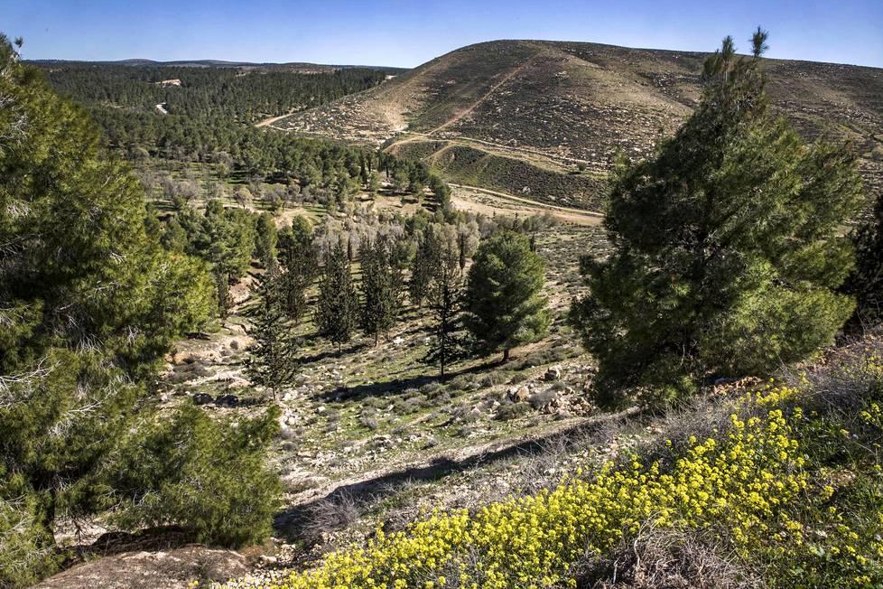 Maaperä aavikon laidalla on rutikuivaa, mutta Yatirin istutusmetsä on selvinnyt jo yli 50 vuotta.