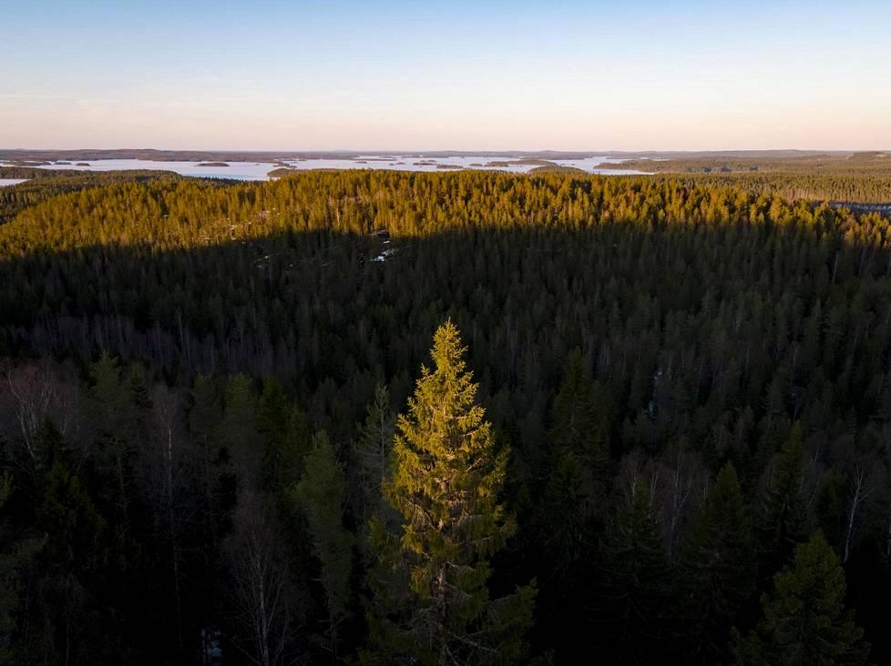 Ilmastonmuutos on lisännyt merkittävästi Suomen metsien kasvua viime vuosikymmeninä. Kuva Konnevedeltä.