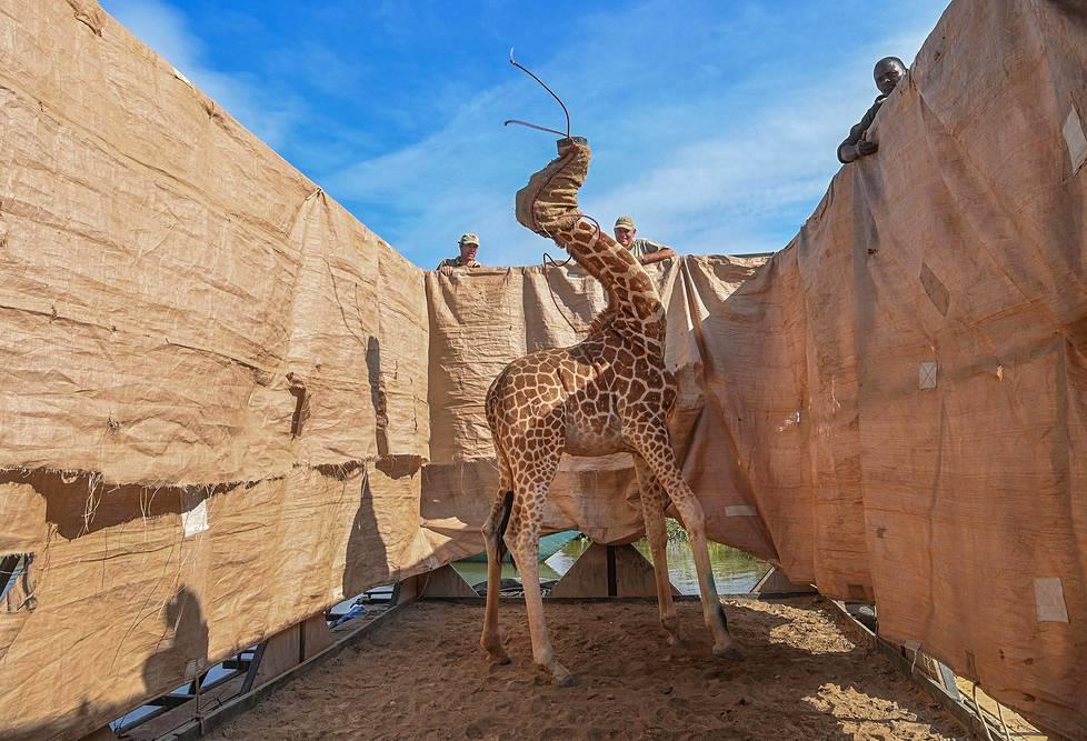 Rothschildin kirahvi kuljetetaan turvallisesti muualle tulvan alle joutuneelta saarelta Keniassa. Rothschildin kirahvi on kirahvin uhanalainen alalaji.