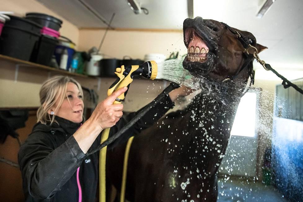Katja Melkko pesee Elian Webbiä hevostilallaan Lumijoella. Elian Webb on monipuolinen hevonen, joka on parhaimmillaan nopeana avaajana.