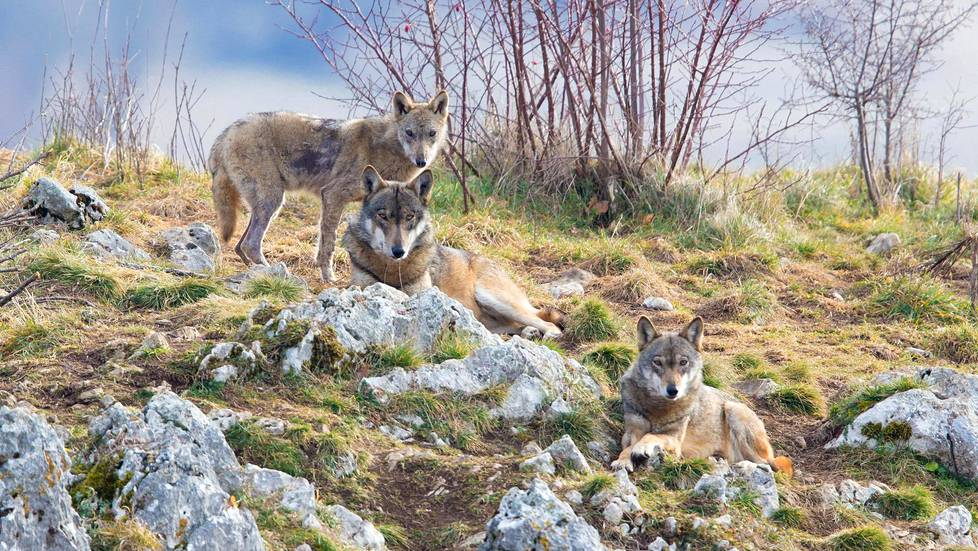 Italian Wolves, a herd of captive animals resting, Civitella Alfedena, Abruzzo, Italy