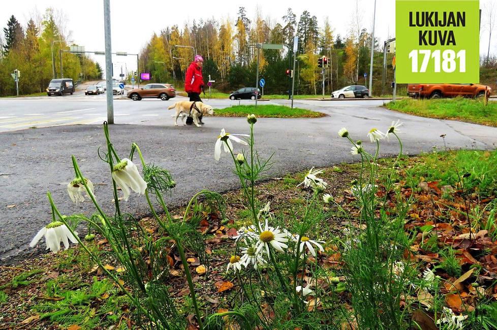Päivänkakkaraa muistuttava peltosaunio kukki Helsingin Metsälässä.