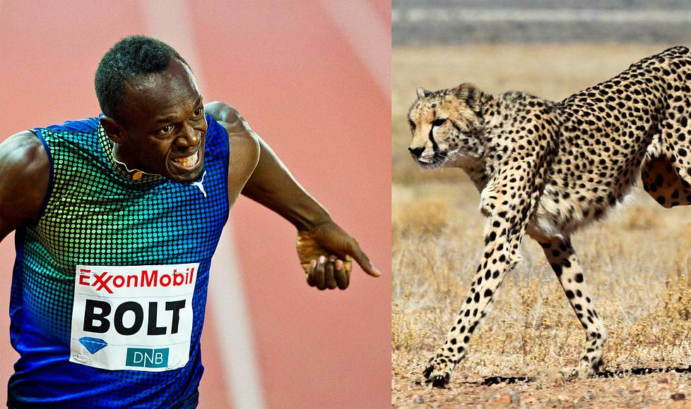 Usain Bolt and the Cheetah