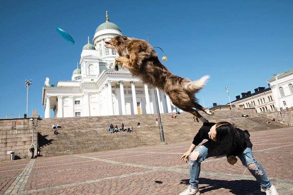 Wilhelmina Tammisen Lucky-koira loikkasi frisbeen perään Senaatintorilla.