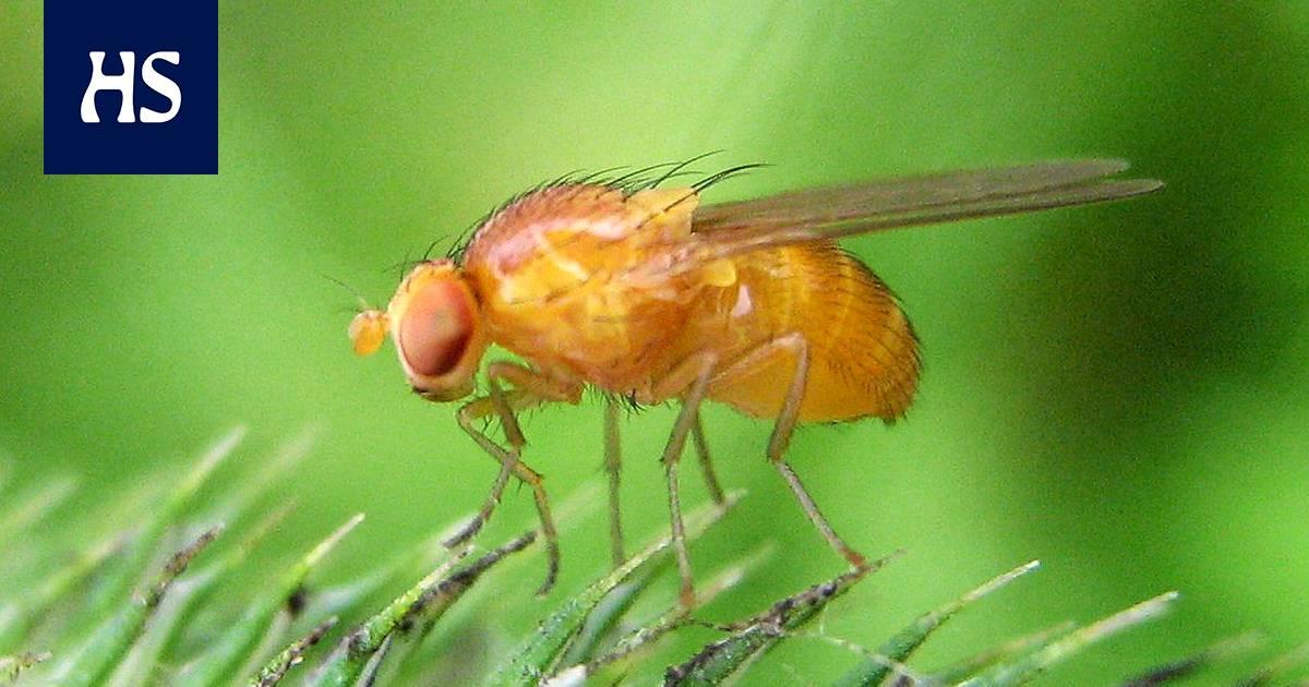 Hedelmäkärpänen