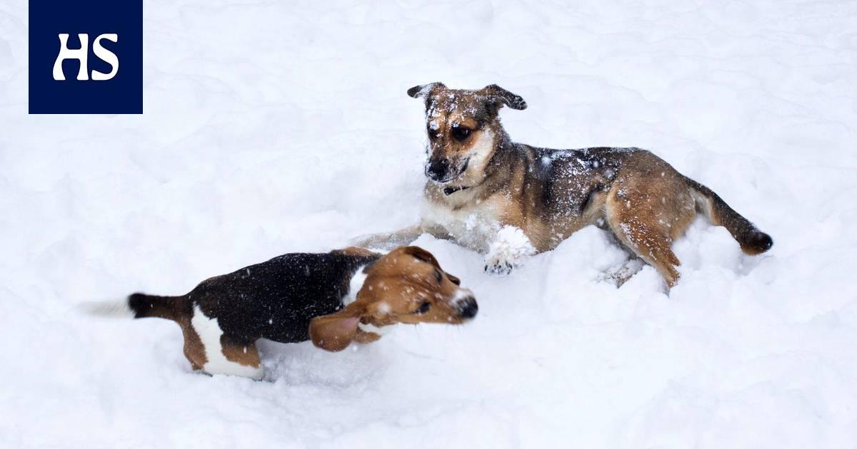 Kennelliitto: Koirien tunnistusmerkintä- ja omistajarekisteri tulee toteuttaa Suomessa pikaisesti
